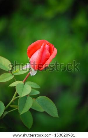 Rosebud A nice macro from a red rosebud.  - stock photo