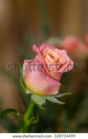 Rosebud with drops after rain