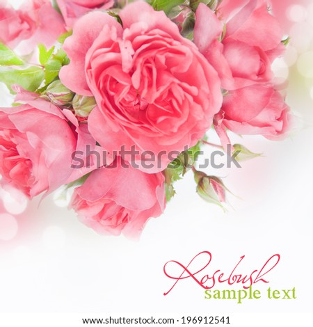 Rosebush, design element - greeting-card with place for your text