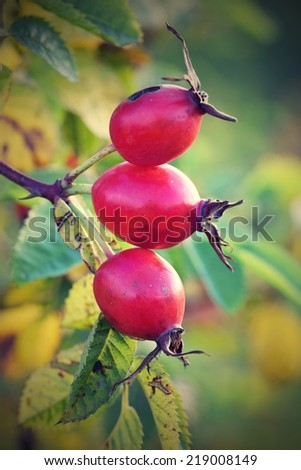 Rosehip - stock photo