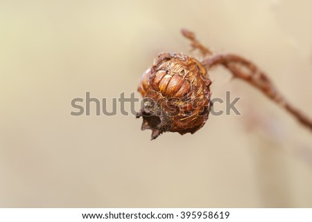 Rosehip - dried fruits - stock photo