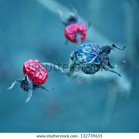 Rosehip wild rose in the autumn .Abstract floral background . - stock photo