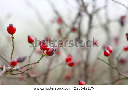 rosehips in fog - stock photo