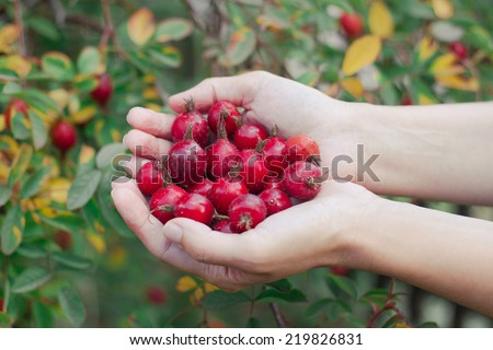 Rosehips in hands with rosehip background, concept of harvest and picking - stock photo