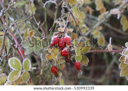 Rosehips in the cold