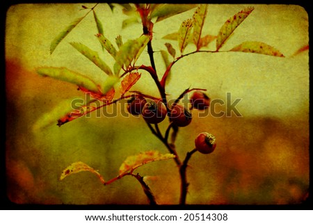 Rosehips on texture - stock photo