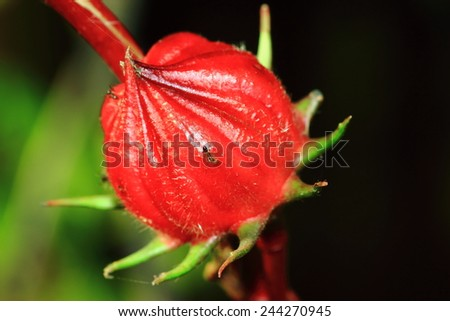 Roselle flowers,Jamaica Sorrel flowers - stock photo