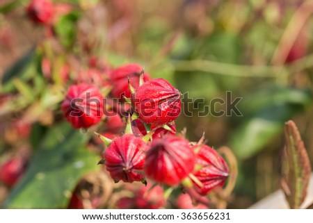 Roselle flowers,red Roselle flowers in the garden,Jamaica Sorrel flowers. - stock photo