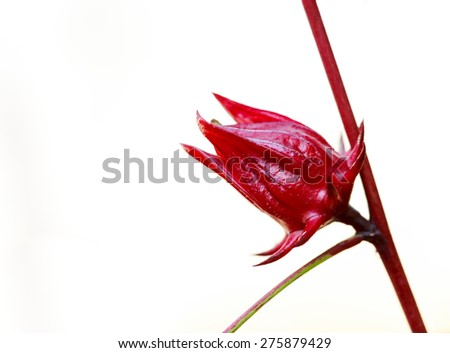 Roselle fruits (Hibiscus sabdariffa L.) - stock photo
