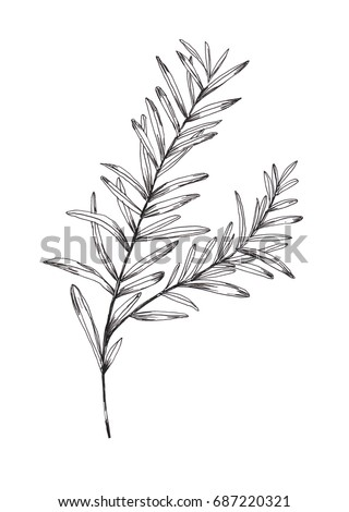 Rosemary Stock Images, Royalty-Free Images & Vectors ...