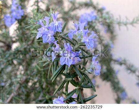 rosemary flowers - stock photo