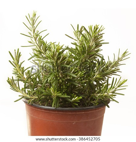 Rosemary growing in a flower pot, on white background - stock photo