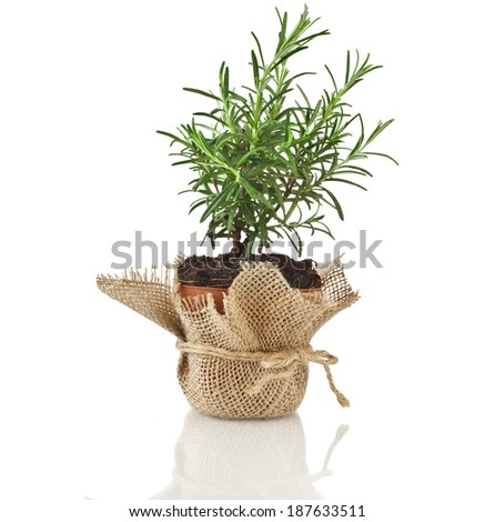 Rosemary herb growing in brown terracotta pot isolated on white background - stock photo