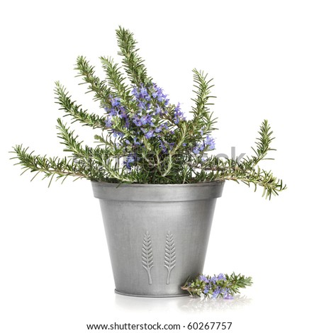 Rosemary herb plant in flower in a distressed aluminum pot, isolated over white background. - stock photo