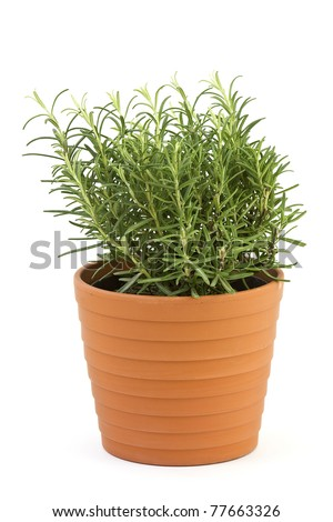 rosemary in pot isolated on white