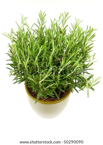 Rosemary plant in a green flower pot - stock photo