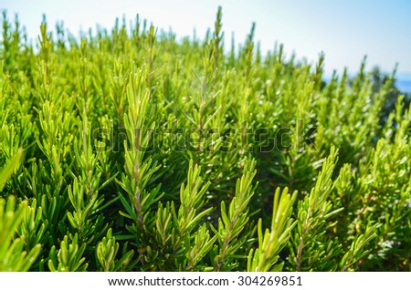 Rosemary plant in sunlight - stock photo
