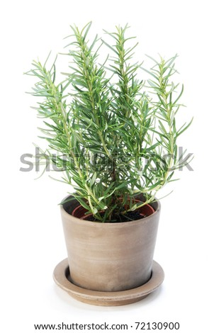 Rosemary  plant on white background - stock photo