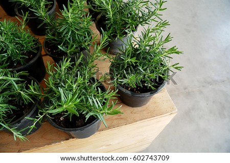 Rosemary Pot Plant on wooden counter
