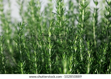 Rosemary (Rosmarinus Officinalis)-  aromatic culinary herb in nature - stock photo
