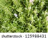 Rosemary (Rosmarinus Officinalis) plant with seeds - stock photo