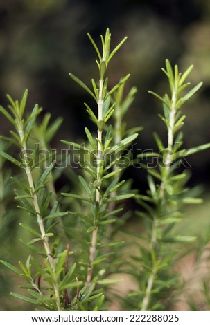 Rosemary sprigs in the garden (Rosmarinus officinalis)