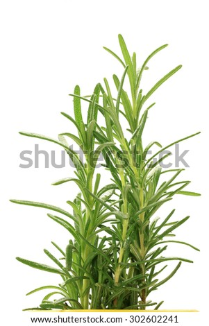 Rosemary tree isolated on white background. This has clipping path. - stock photo