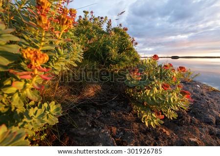Roseroot at Helgeland coast, Norway. Photographed at sunrise.  - stock photo