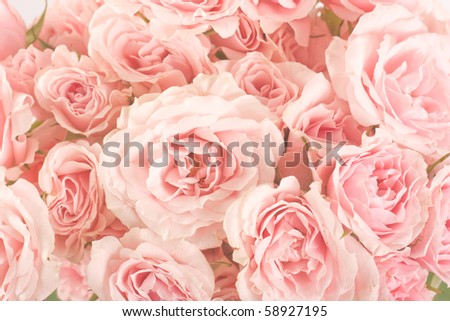 Roses - stock photo