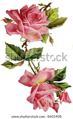Roses - a circa 1908 vintage illustration - stock photo