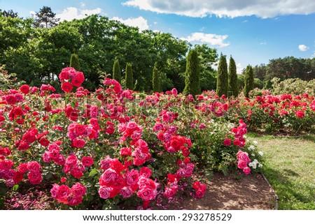 Roses bed on garden landscape - stock photo