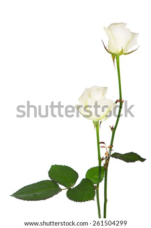 roses bud isolated on white background  - stock photo