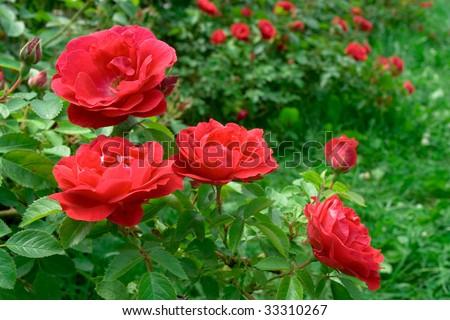 Roses bush, background - stock photo