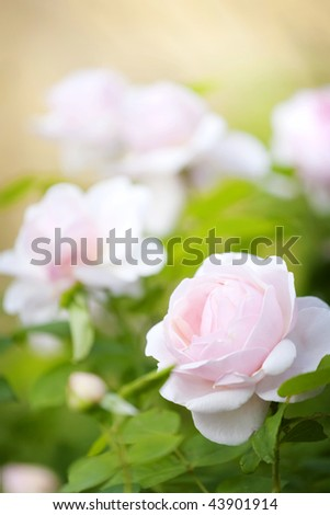 Roses bush, background
