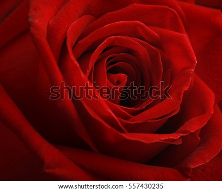 Roses,flower background for Valentine's day,