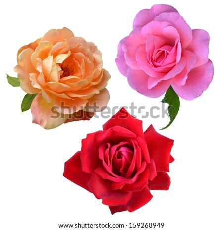 roses flowers it is isolated a holiday - stock photo