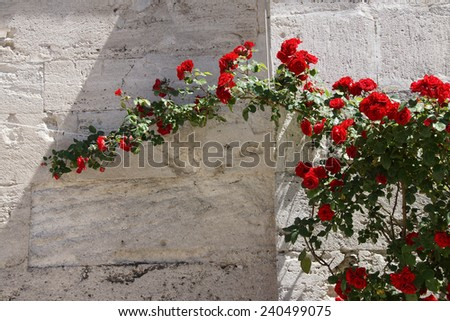 Roses growing against the stone outer walls of Hagia Sophia, in Istanbul, Turkey - stock photo