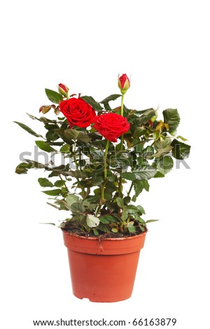 roses in a pot - stock photo