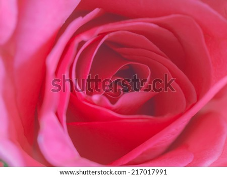 Roses in pastel background with soft focus