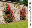 roses in Villandry, France - stock photo