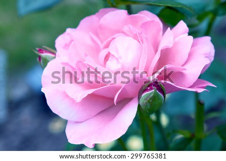 Roses in vintage style.Pink Rose Blooming in Garden. - stock photo