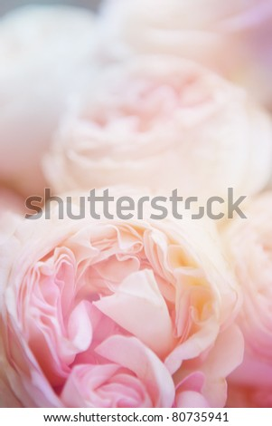 roses made with color filters. close-up - stock photo