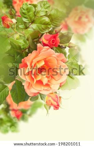 Roses on a bush in a garden.  - stock photo