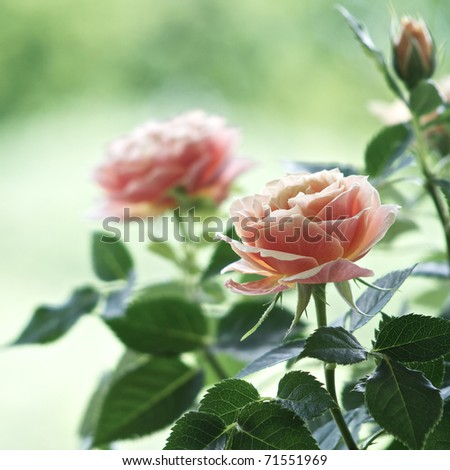 Roses on a bush in a garden. Shallow DOF - stock photo