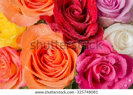 roses with dew drops in detail - stock photo