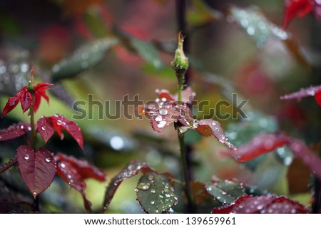 Roses with drops of water. - stock photo