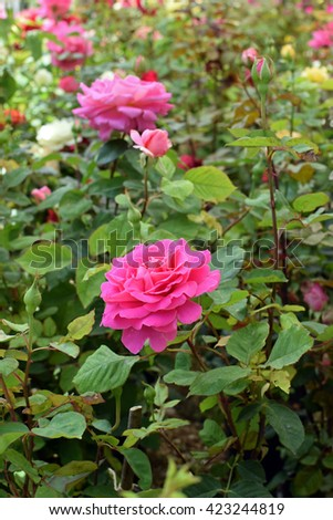 Roses with pink flowers and buds. Springtime nature background. - stock photo