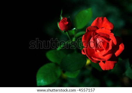 roses with space left for text. perfect for postcards - stock photo