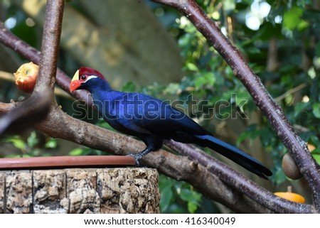Ross's Lourie or Turaco - stock photo
