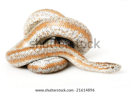 Rosy Boa (Lichanura trivirgata) on white background.